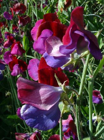 Lathyrus Odoratus o piselli ornamentali o ancora pisello odoroso , seminiamoli ora!