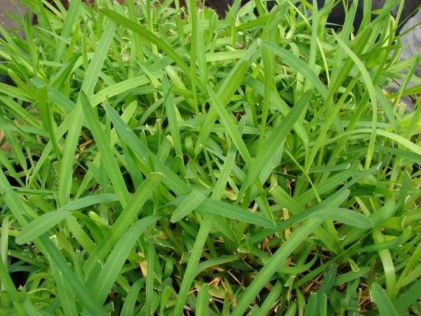 Giardinauta coltivando il tuo pollice verde for Prato gramignone