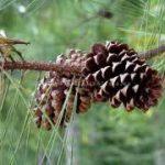 Aghi di pino come pacciamatura ?
