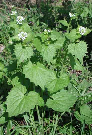 L'Alliaria Officinalis Petiolata – Riconoscerla , Coltivarla  e usarla in cucina –