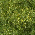 """L'Artemisia Annua! Non una semplice """"erbaccia""""…"""