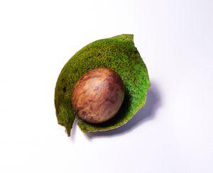 L'Avocado! Coltivare la Persea Americana