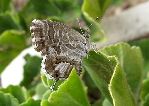 Cacyreus marshalli La farflallina golosa di geranei