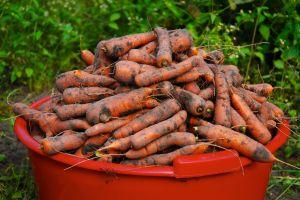 Patate e carote alla prova !