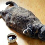 L'obesità nei gatti