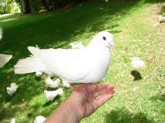 Le colombe vengono fatte riprodurre a partire dalle uova e non vedono l'esterno se non al momento di essere liberate, cosa alla quale sono del tutto impreparate.  Una volta in volo non si orizzontano perché non conoscono i cieli  diventano facili prede