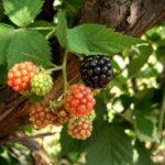Il rovo – Rubus Ulmifolius –