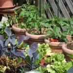 L'Orto in vaso – I Pomodori  !