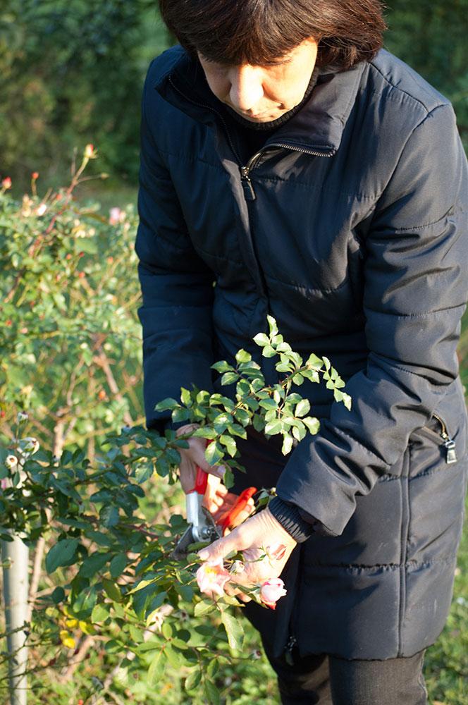 Potatura delle rose: poche semplici regole per non sbagliare