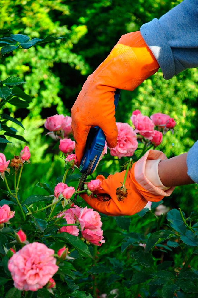 Potatura delle rose poche semplici regole per non for Potatura delle rose