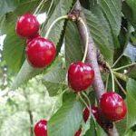 Il Prunus cerasus – Amareno –