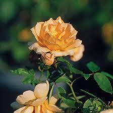 Mostra mercato dedicata alle rose in Villa Fideliana a Spello (PG)