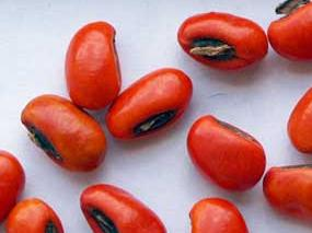 semi di erythrina